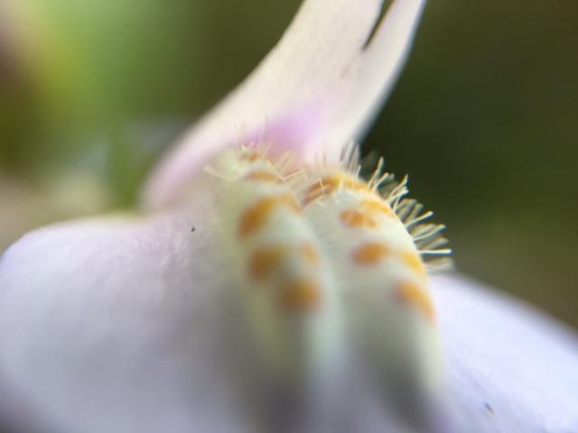 花マクロ・2017 [32] ムラサキサギゴケ