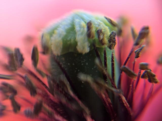 花マクロ・2017 [43] ナガミヒナゲシ