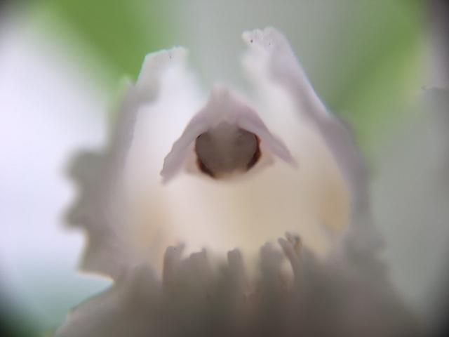 花マクロ・2017 [66] シラン