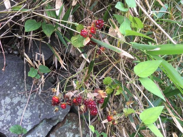 花マクロ・2017 [49]のおまけ ナワシロイチゴ