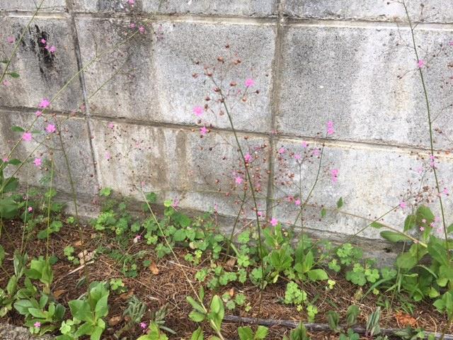 花マクロ・2017 [78] ハゼラン