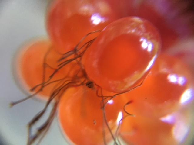 花マクロ・2017 [91]のおまけ フユイチゴ