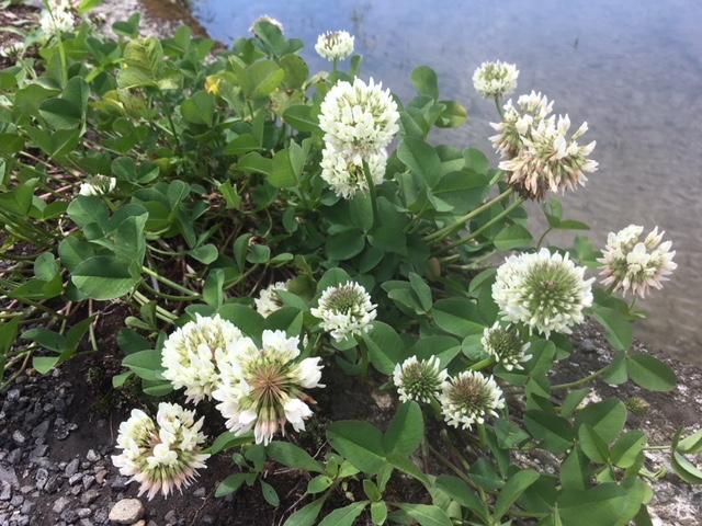 花マクロ・2018 [34] シロツメクサ
