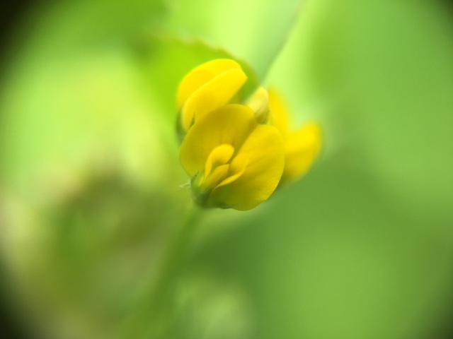 花マクロ・2018 [45] ウマゴヤシ