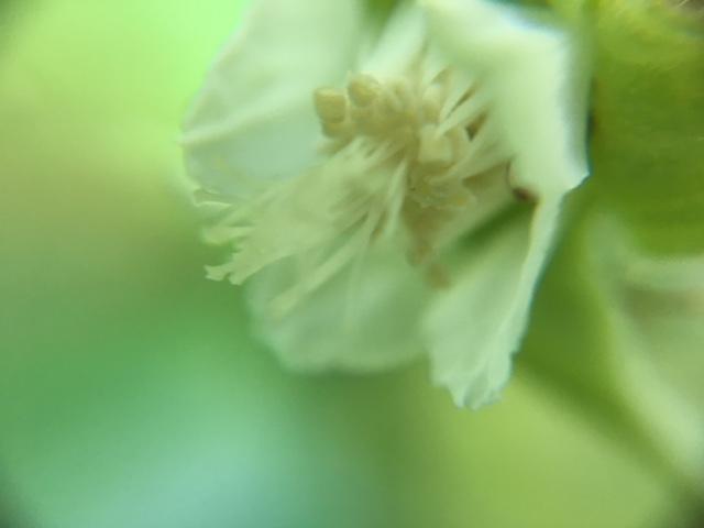 花マクロ・2018 [84] フユイチゴ
