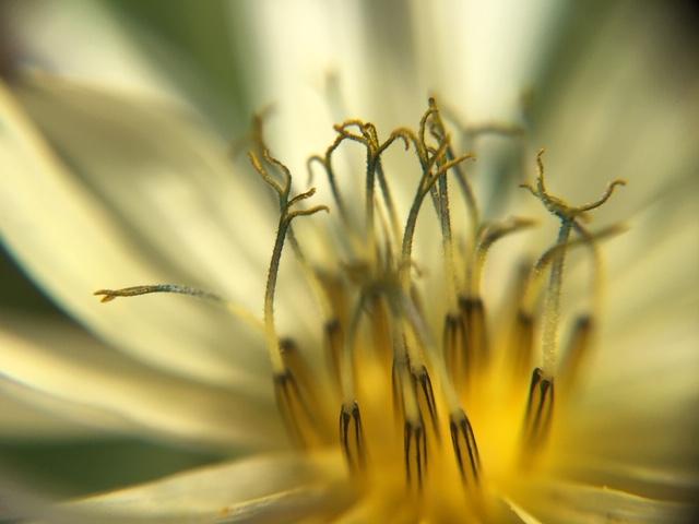花マクロ・2018 [126] アキノノゲシ