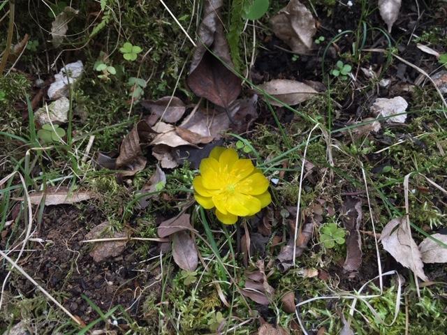 牧野植物園の花 [1] シコクフクジュソウ
