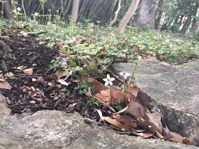 牧野植物園の花たち [3] バイカオウレン