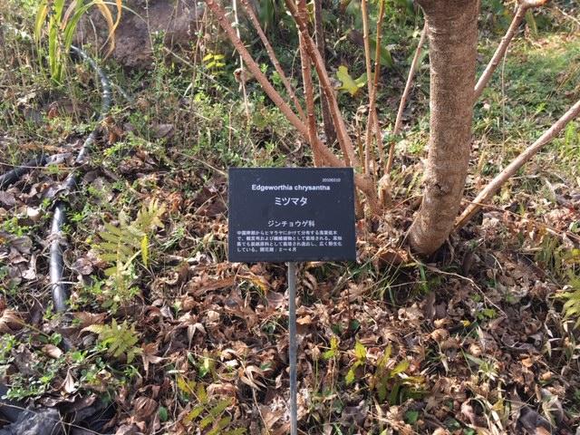 牧野植物園の花たち [4] ミツマタ