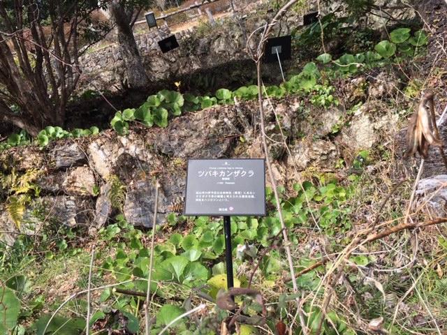 牧野植物園の花たち [5] ツバキカンザクラ