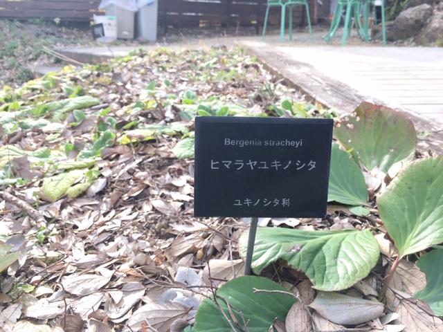 牧野植物園の花たち [6] ヒラヤマユキノシタ