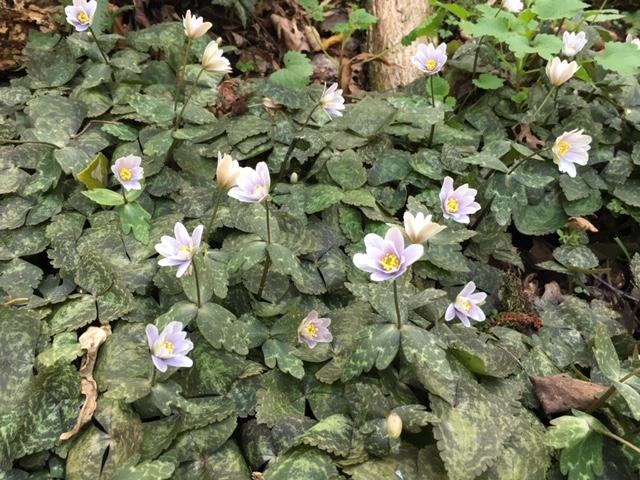 牧野植物園の花たち [7] ユキワリイチゲ