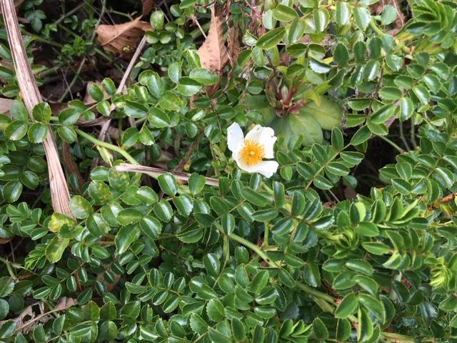 牧野植物園の花たち [9] リュウキュウテリハノイバラ